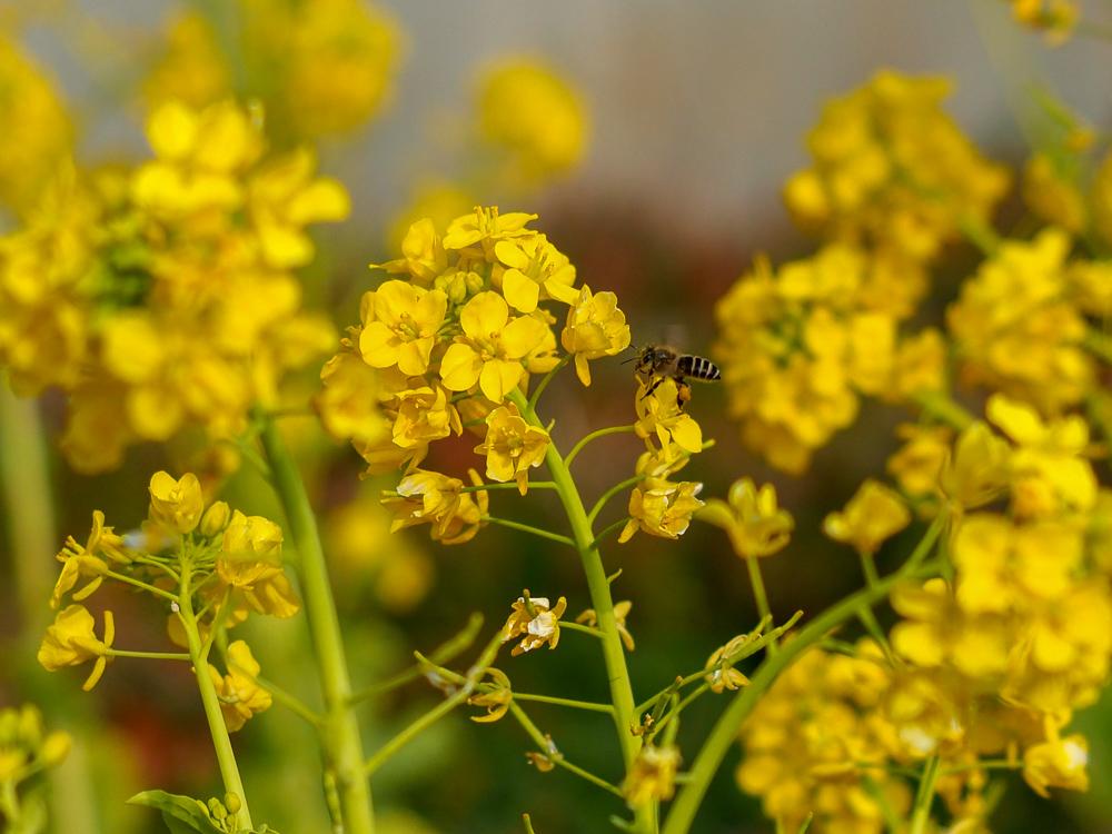 手賀沼沿いの菜の花畑